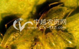 油菜田蚜虫