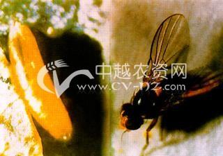 油菜美洲斑潜蝇