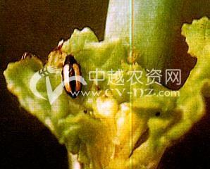 黄宽条菜跳甲
