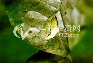 油菜黑纹粉蝶