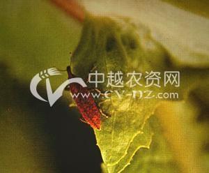 油菜黑龙江简喙象