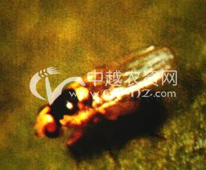 油菜番茄斑潜蝇