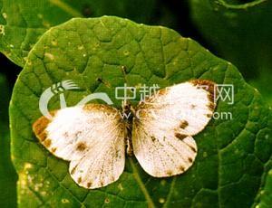 油菜东方粉蝶