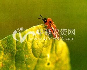 油菜菜叶蜂