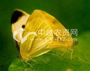 油菜菜粉蝶