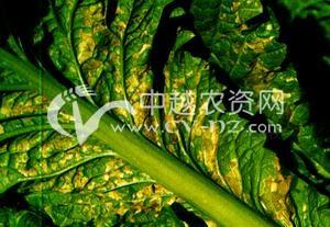 油菜细菌性黑斑病