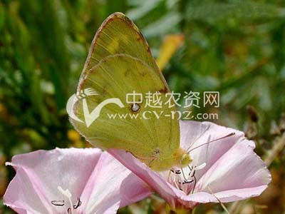 斑缘豆粉蝶