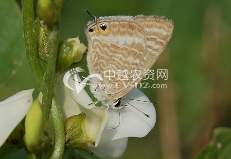 扁豆小灰蝶