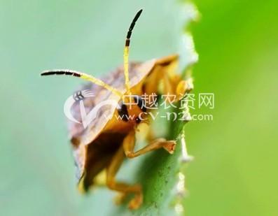 甘薯蜡龟甲