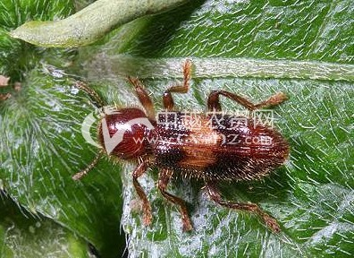 红斑郭公虫