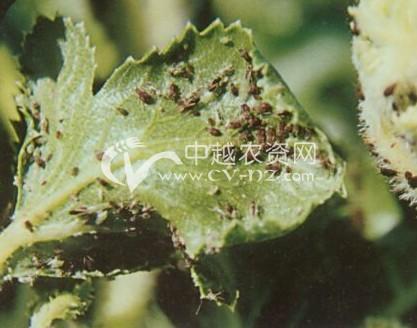 胡萝卜微管蚜