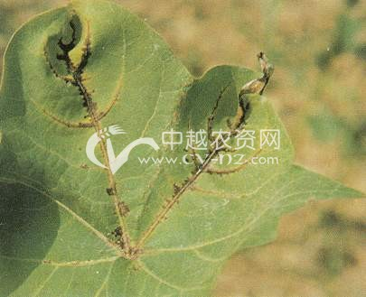 棉花角斑病