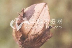 棉花棉铃红腐病