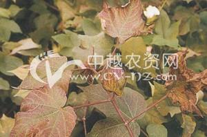 棉花红(黄)叶枯病