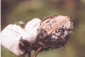 棉花红粉病