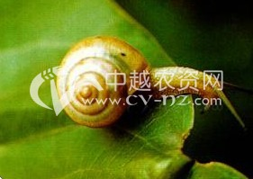 棉花同型巴蜗牛