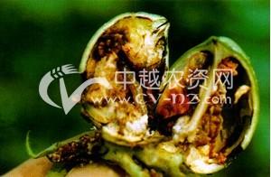 棉花棉田亚洲玉米螟