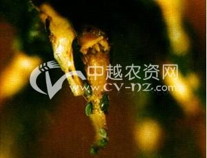棉花棉根蚜