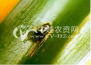 棉花绿盲蝽