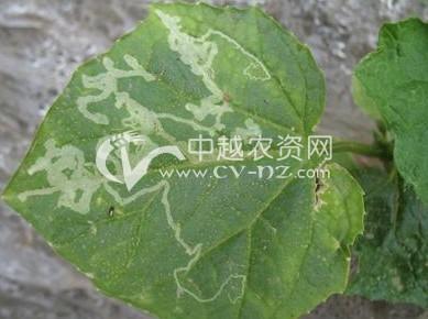 棉花美洲班潜蝇
