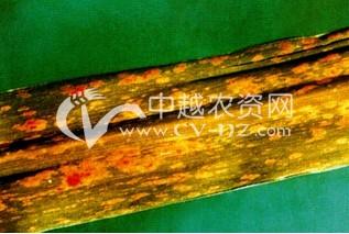 甘蔗黄斑病