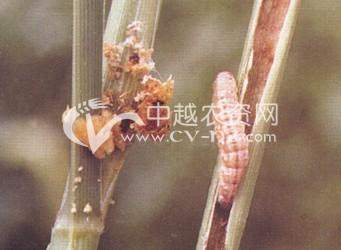 甘蔗田亚洲玉米螟