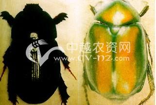 甘蔗翼翅丽金龟