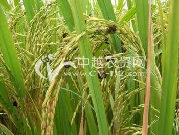 水稻稻曲病