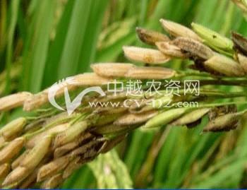 水稻稻粒黑粉病