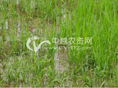 水稻齿矮病