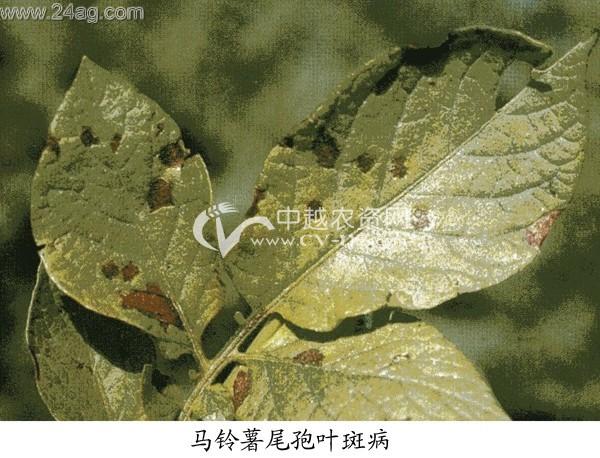 马铃薯尾孢菌叶斑病