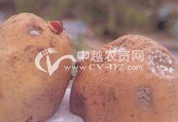 马铃薯干腐病