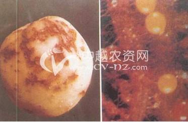 马铃薯茎线虫病