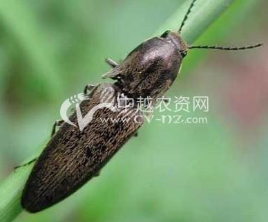 褐纹金针虫