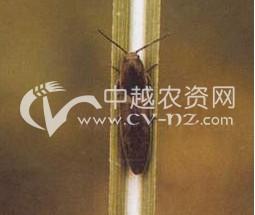 细胸金针虫
