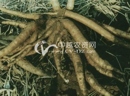 木薯细菌性枯萎病