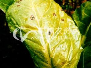 甜菜叶斑病