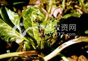 甜菜细菌性斑枯病