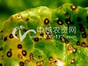 甜菜褐斑病