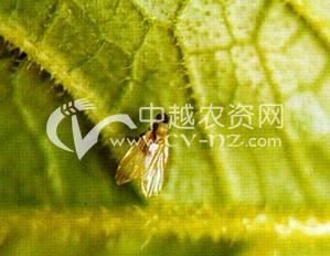甜菜肖藜泉蝇