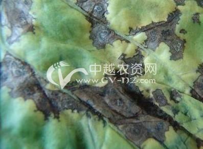 烟草细菌角斑病