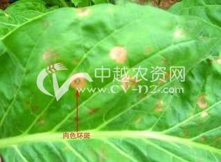 烟草环斑病毒病