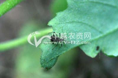 红花指管蚜