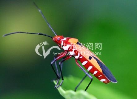 横带红长蝽
