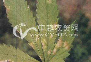大麻白星病