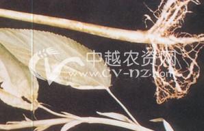红麻根结线虫病