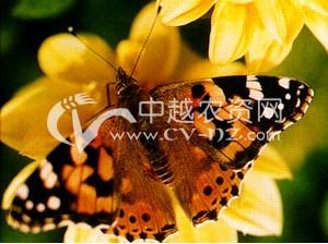麻小红蛱蝶