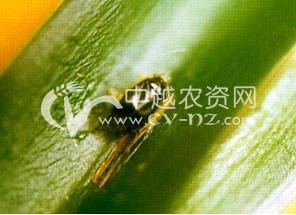 麻田绿盲蝽