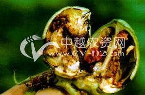 棉花亚洲玉米螟
