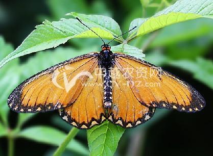 苎麻黄蛱蝶